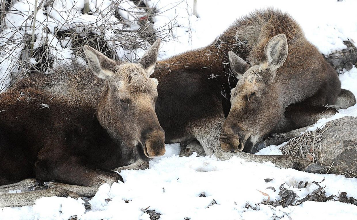 A pair of young moose enjoy a nap on a sunny spring day near Steamboat Boulevard.