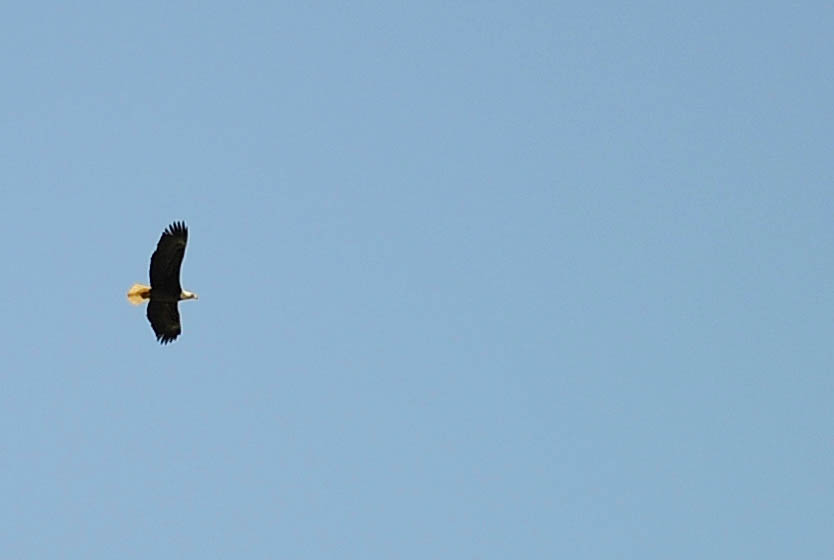 An eagle flies over the Memorial Day ceremony at Steamboat Springs Cemetery Monday.