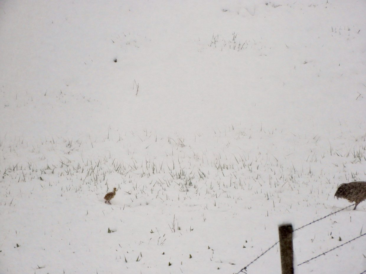 A group of grouse make their way through the snow.