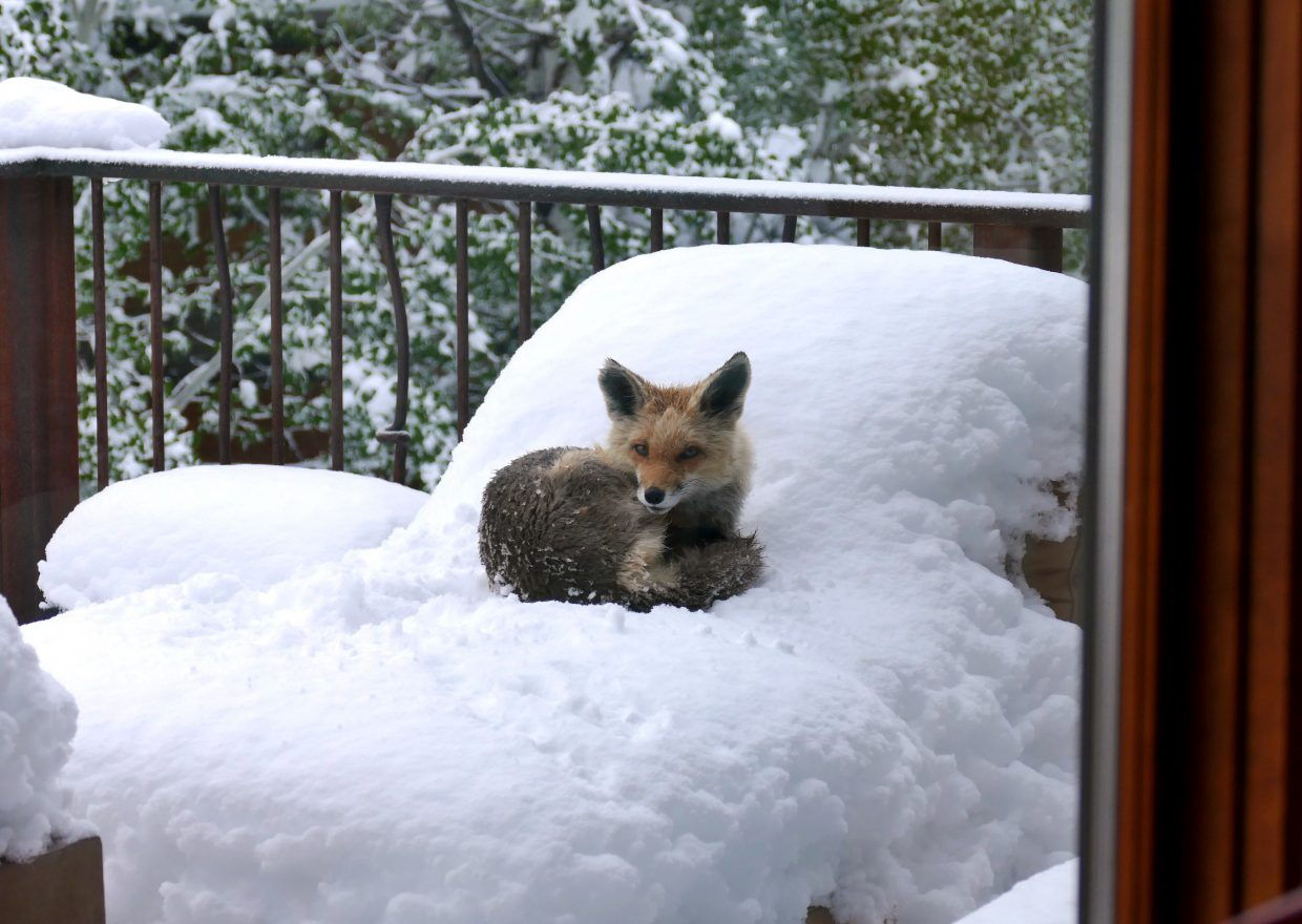 Fox on the back porch.