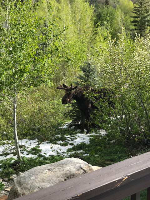 Moose in the underbrush.