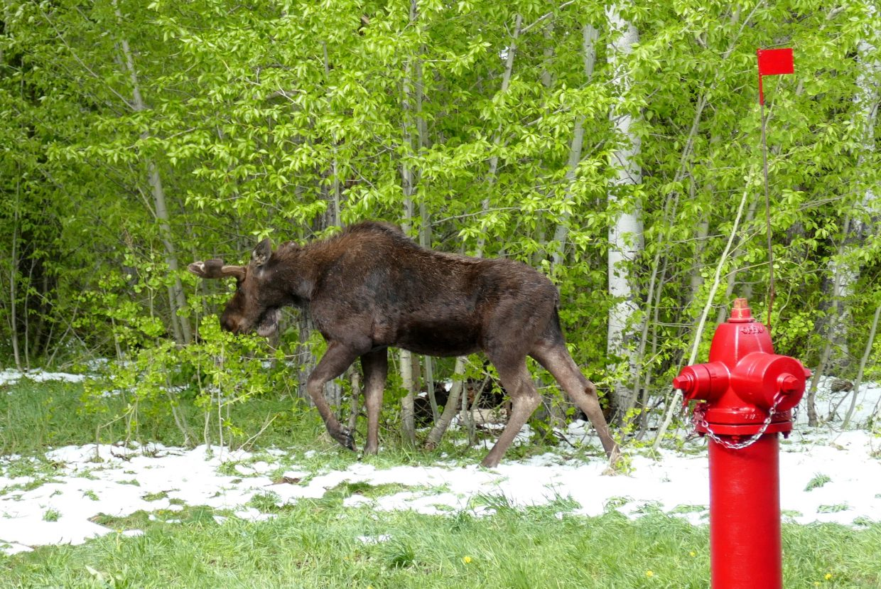 Close encounter with a moose.