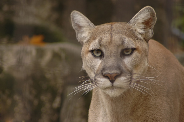 Top 10 stories of the week: Mountain lion, gray wolf spottings