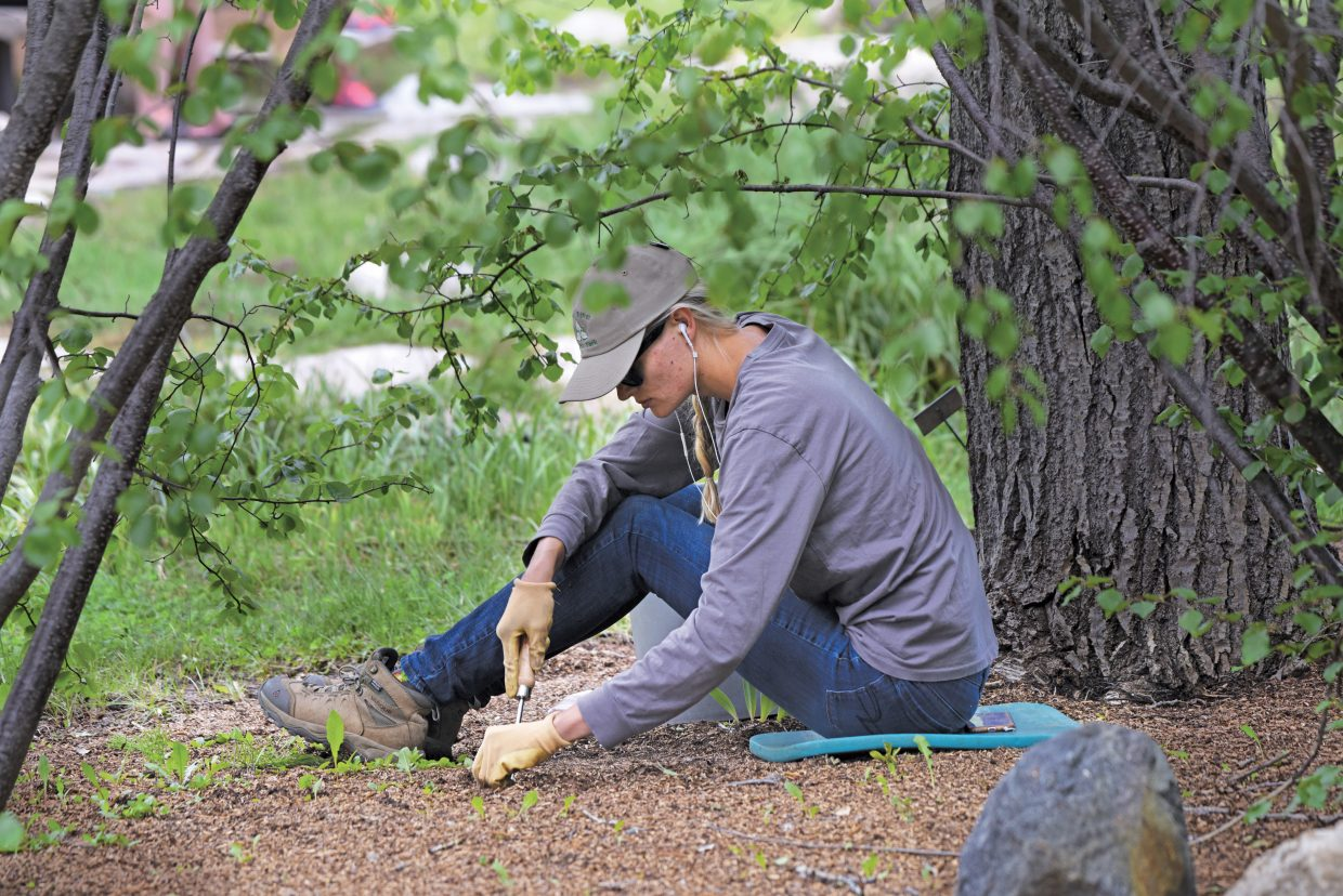Sasha Moats weeds a flower bed at the Yampa River Botanic Park Thursday afternoon. The park opened in April, about three weeks earlier than normal, and is in top early season shape with plenty of brightly colored flowers everywhere you walk.