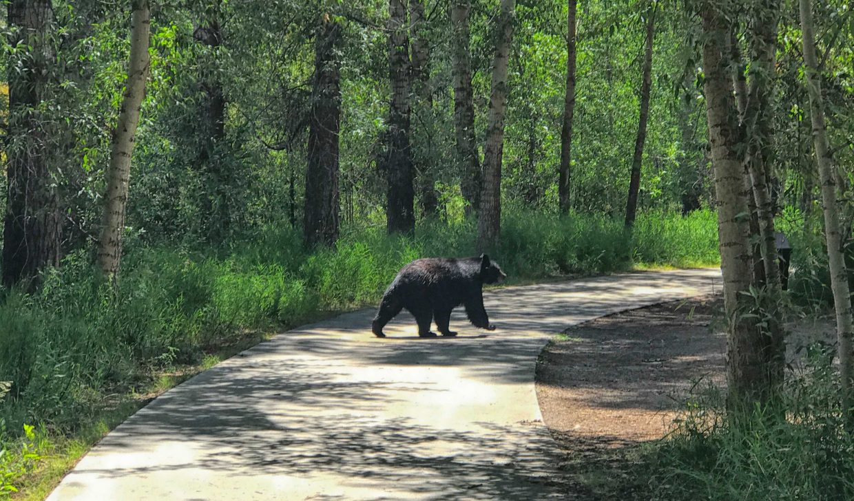 A black bear takes as stroll on the Yampa River Core Trail.