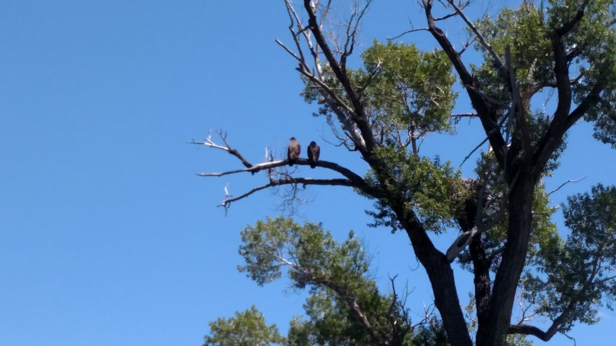 A pair of golden eagles hang out near the Yampa River.