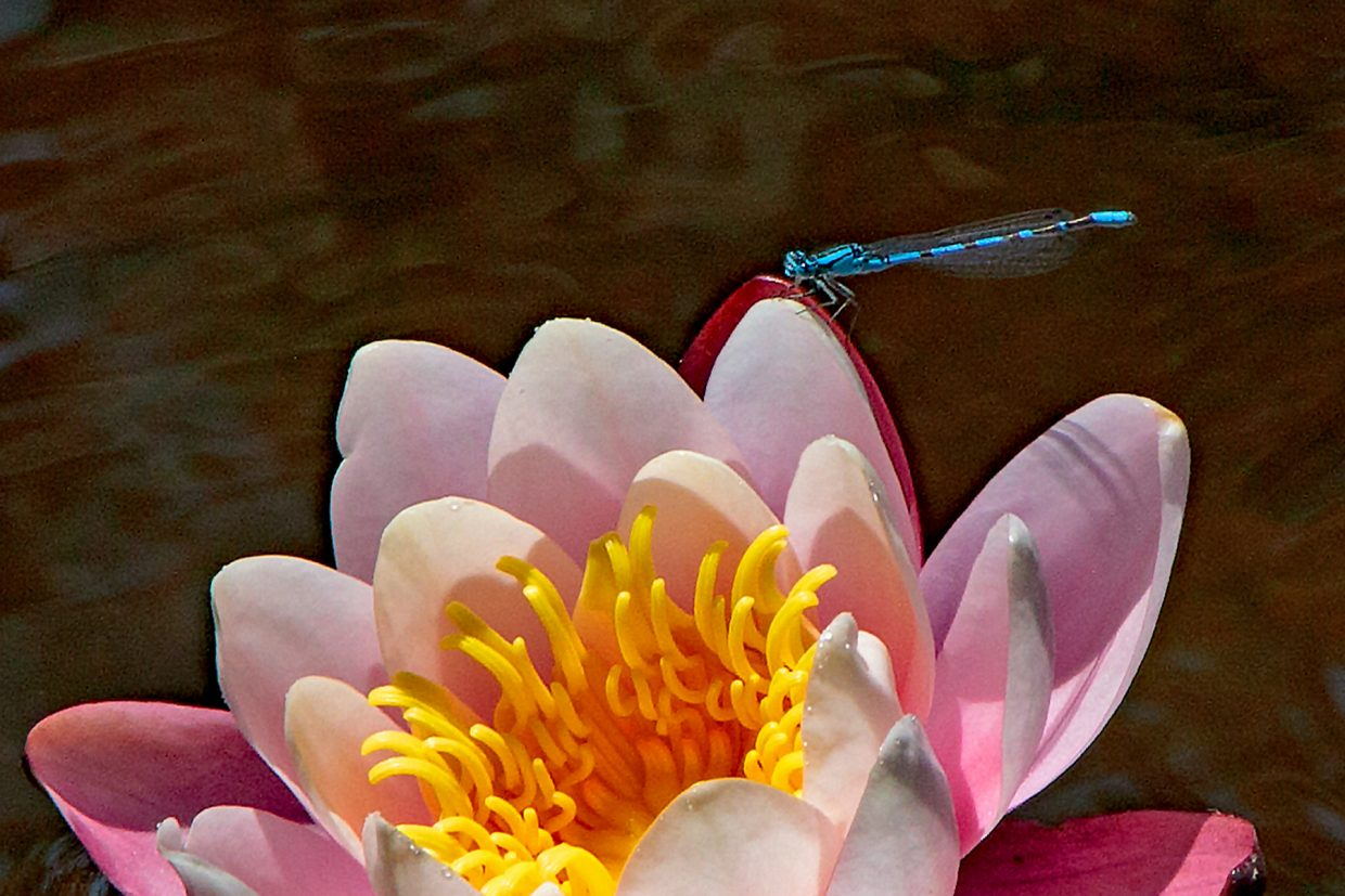 A blue dragonfly pauses for a moment on a Botanic Gardens Water Lily.