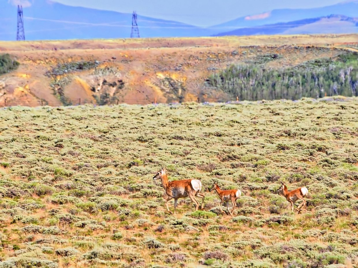 A mother pronghorn and her kids, near Walden.