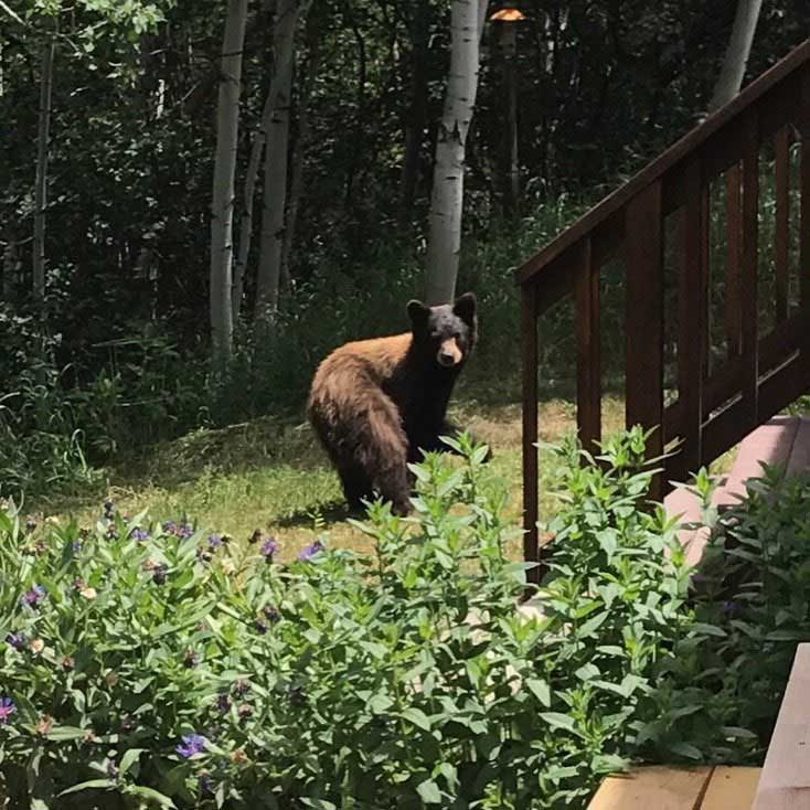 A bear explores at Stagecoach Townhomes.