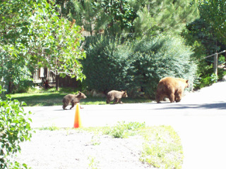 These pictures of a sow with cubs were taken in the alley bordered by oak and pine between 4th and 5th streets.