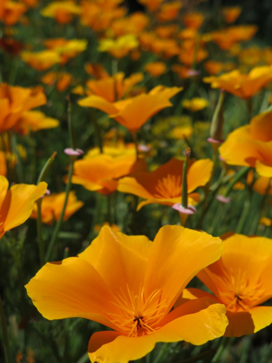 Taken at the Yampa River Botanic Park. This Californian appreciates these poppies!! :)