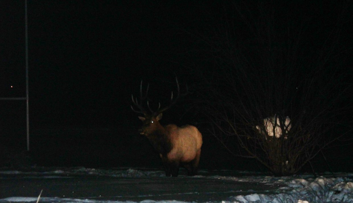 Elk in the backyard. Submitted by: Brian Savoie