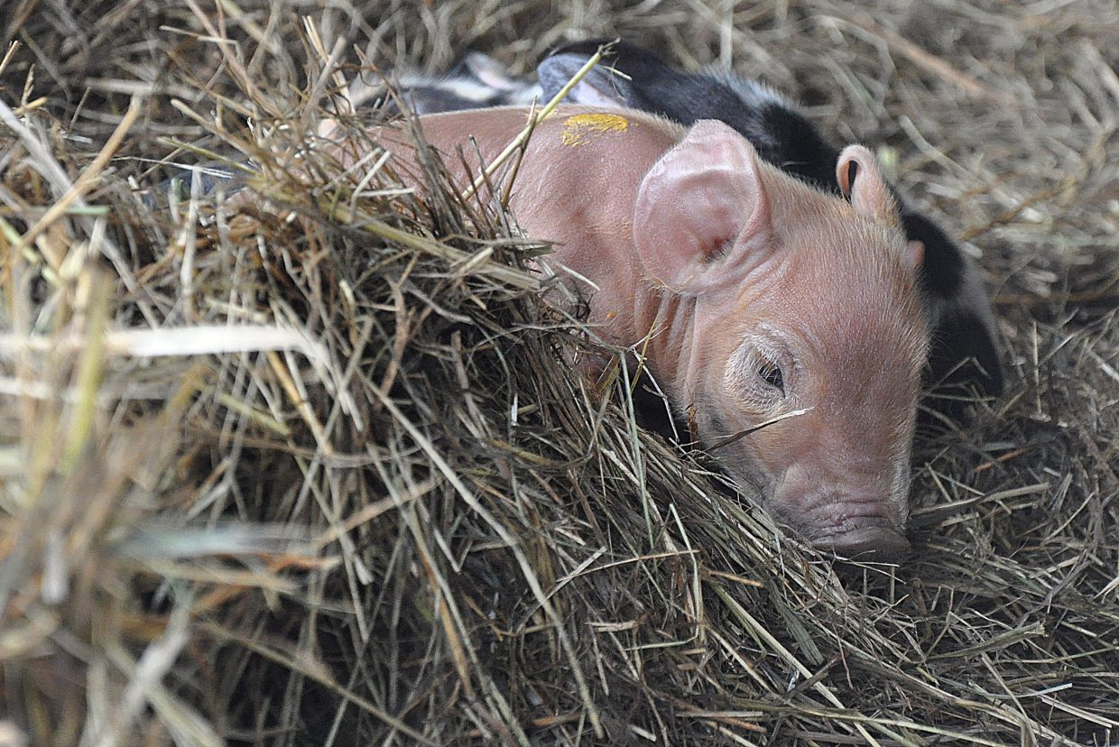 A piglet keeps warm on a farm in Milner Monday morning. The piglet was one of three born Sunday night or Monday morning. Happy Zacharda, of Yampa Valley Farms, discovered the piglets while tending to the animals.