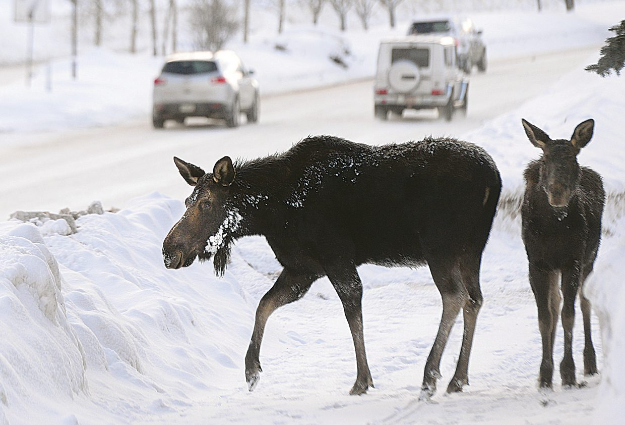 A moose and calf look for an opportunity to cross Lincoln Avenue on Tuesday near where the Yampa River Core Trail ends in front of the Rabbit Ears Motel. The moose eventually walked across the busy road — briefly stopping traffic — before disappearing behind the post office.