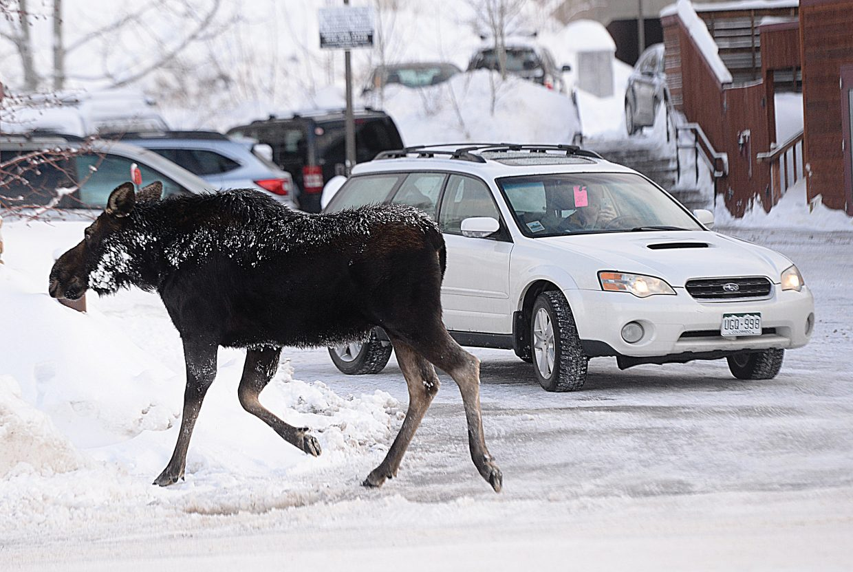 A moose passes in front of the Old Town Hot Springs earlier this week. As the snow piles up, moose often use plowed sidewalks and bike trails to get from one point to another. Residents should be aware of their surroundings and aware there is always a chance they could cross paths with a moose.