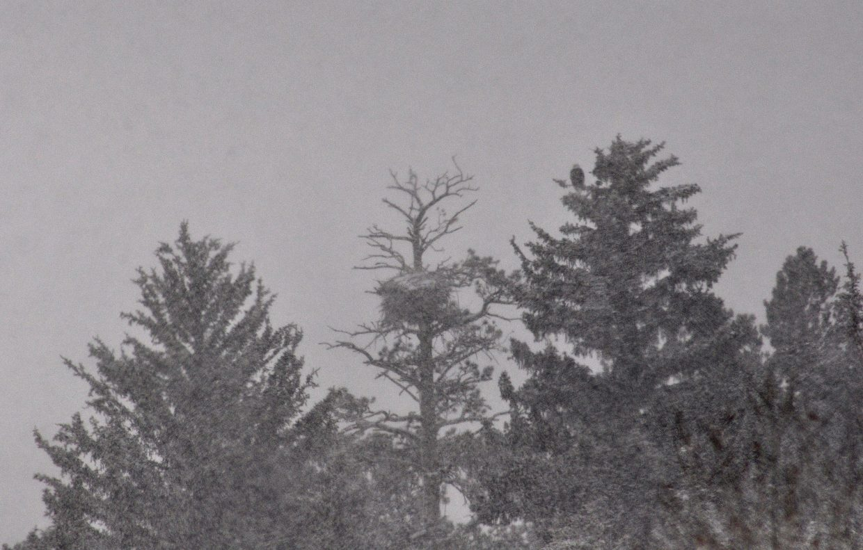 A bald eagle keeps an eye on its nest near Finger Rock in heavy snow. Nests often get very large and can weigh around 1,000 pounds.