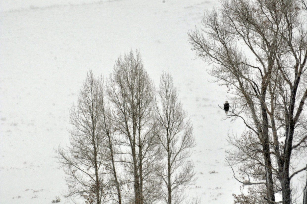 A bald eagle perches in a tree near the Finger Rock Fish Hatchery in South Routt County.