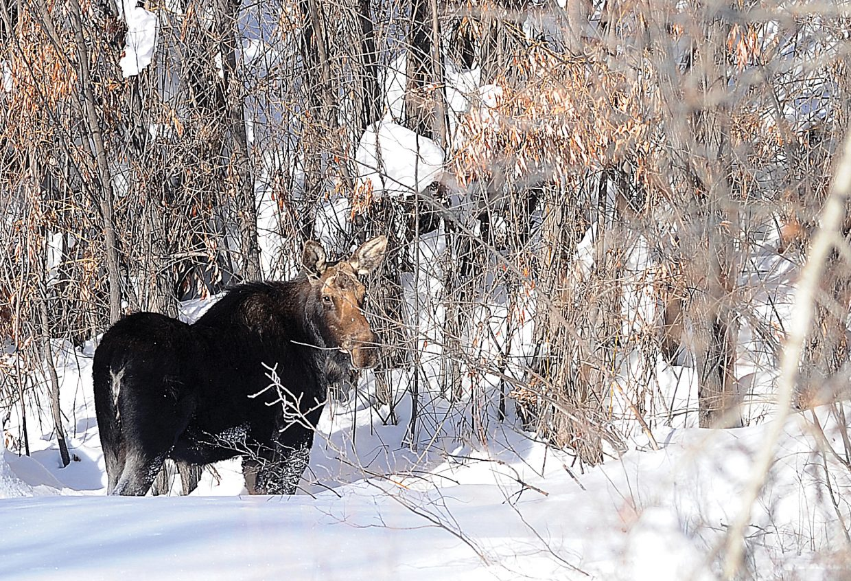This is one of two moose spotted hanging out Thursday morning behind Steamboat Springs High School. The moose didn't attract much attention as several people and a stray dog passed by on a nearby trail.