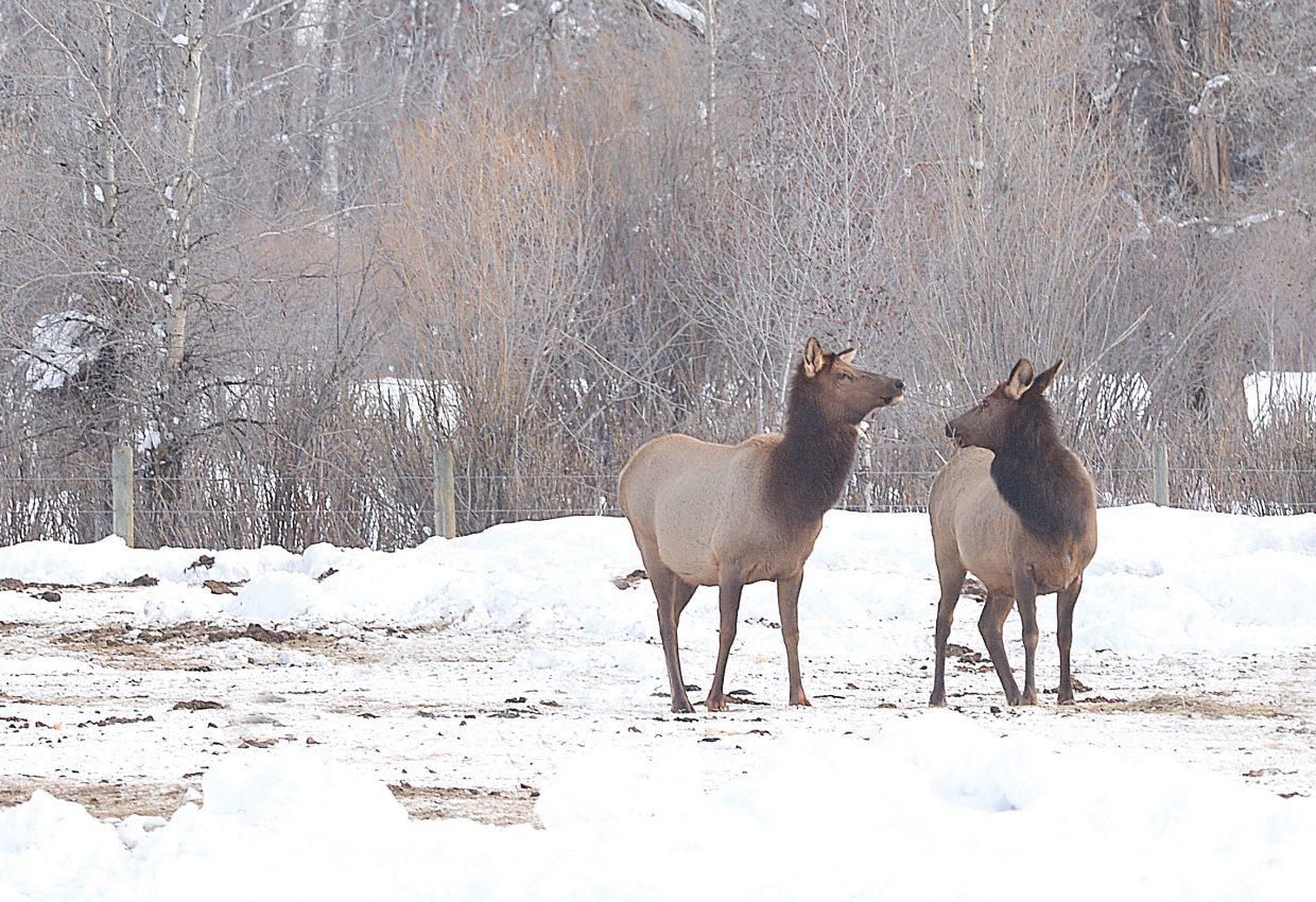Elk hang out in a rancher's pasture in North Routt County on Thursday.