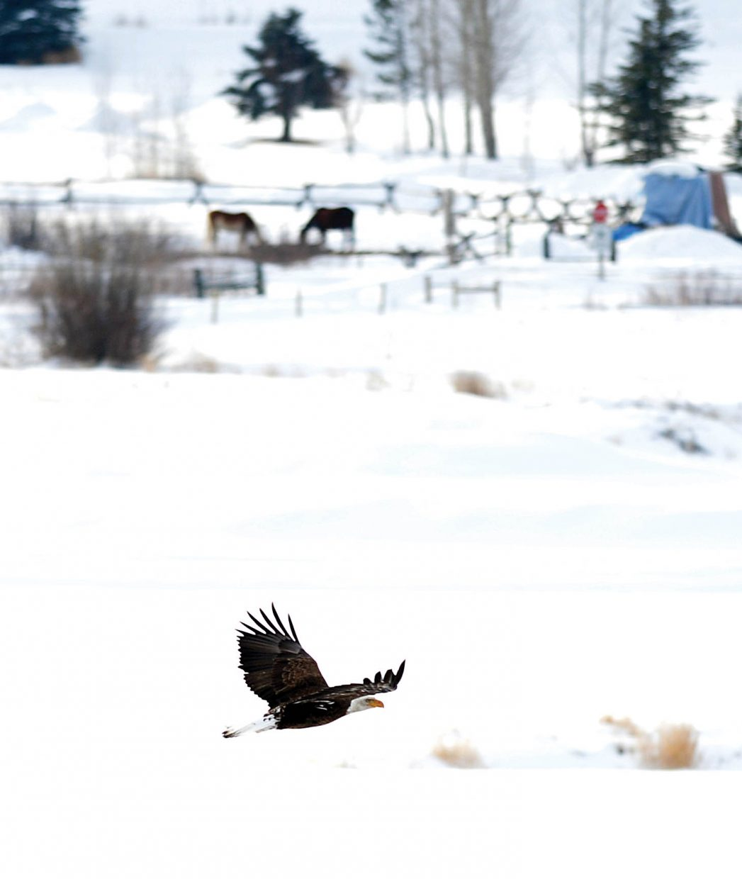A Bald Eagle flys along the Yampa River west of Steamboat Springs.