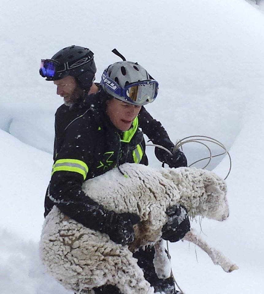 Kurt Castor carries the sheep out of the deep snow at the Steamboat Ski Area.