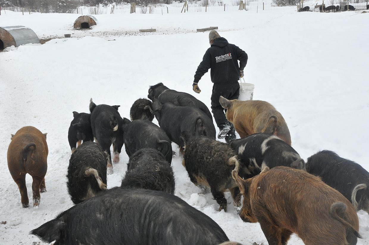 A drove of pigs follows Happy Zacharda, of Yampa Valley Farms, during feeding time on a farm in Milner. The pigs eat spent grain from Butcherknife Brewing Co.