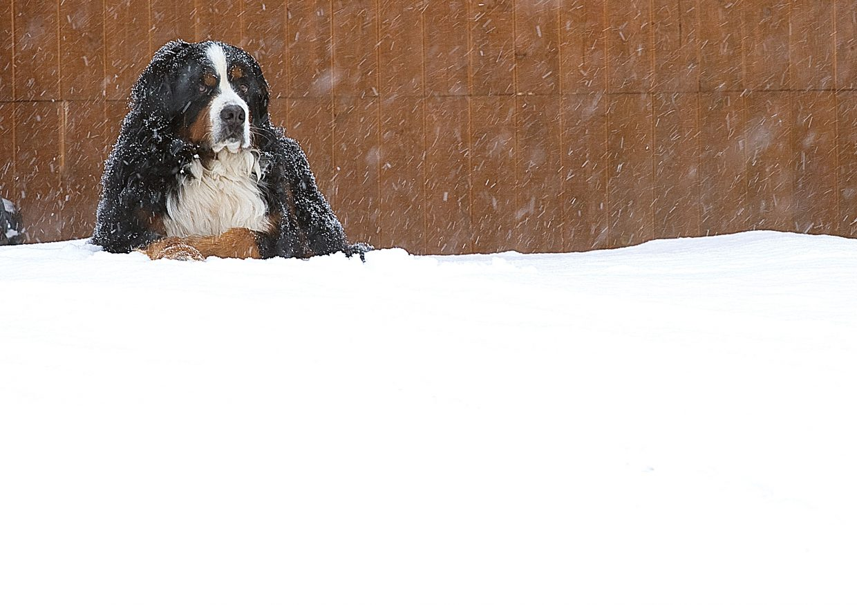 A Bernese Mountain dog looks at home as he sits in the driveway of a house in the Sanctuary neighborhood in Steamboat Springs on Monday. After several days of clear blue sky, Monday's weather returned to a wintry look with cold, snow and gray skies.