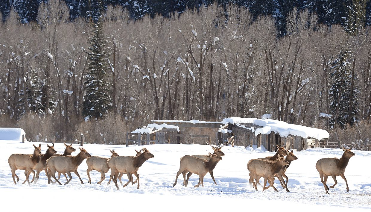 A herd of elk makes its way across a ranch north of Steamboat Springs.