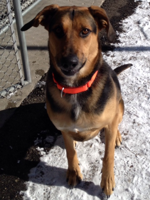 Whiskey is a handsome 5-year-old shepherd/hound mix. He is very smart and knows lots of tricks that can get him into trouble around the house. He needs an owner who can provide him an outlet for his energy and spend time with him, and in return he will provide entertainment and lots of love. Come meet him at the Steamboat Springs Animal Shelter or call 970-879-0621 for more information.