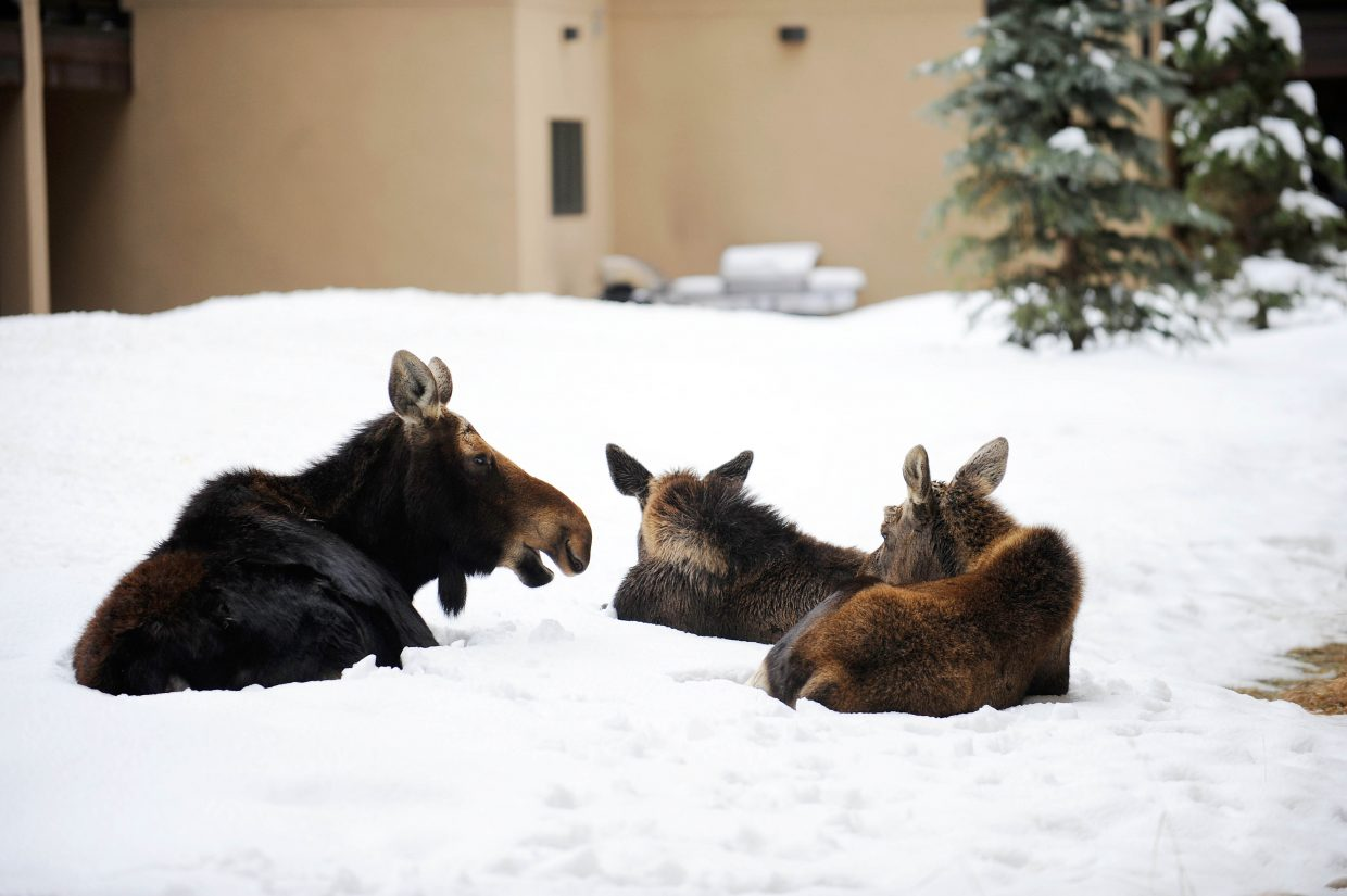 A cow moose and her two calves bed down between the Snow Flower Condominiums and One Steamboat Place.