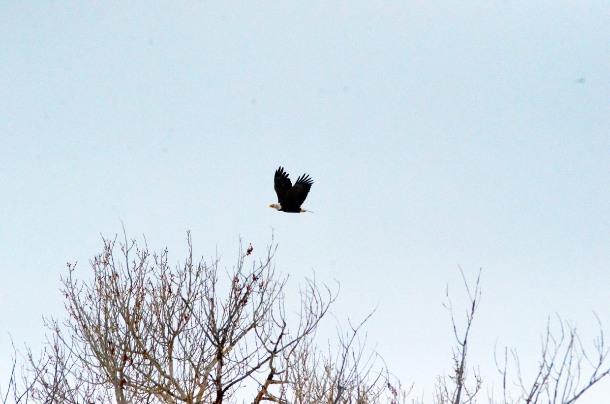 A bald eagle takes flight north of Craig on Thursday afternoon.