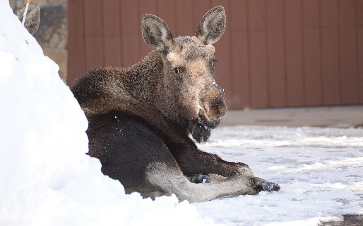 A moose calf lays in the driveway of a home located on Waterstone Lane Monday afternoon. The moose was one of three that were eating the branches of shrubs and trees in the town home complex. Officers with Colorado Parks & Wildlife responded to the area and warned residents and people traveling through the area to be aware of the animals. Moose may appear to be non-threatening, but they are known to be very aggressive and dangerous when they are bothered. The officers advise people to give the animals plenty of room.