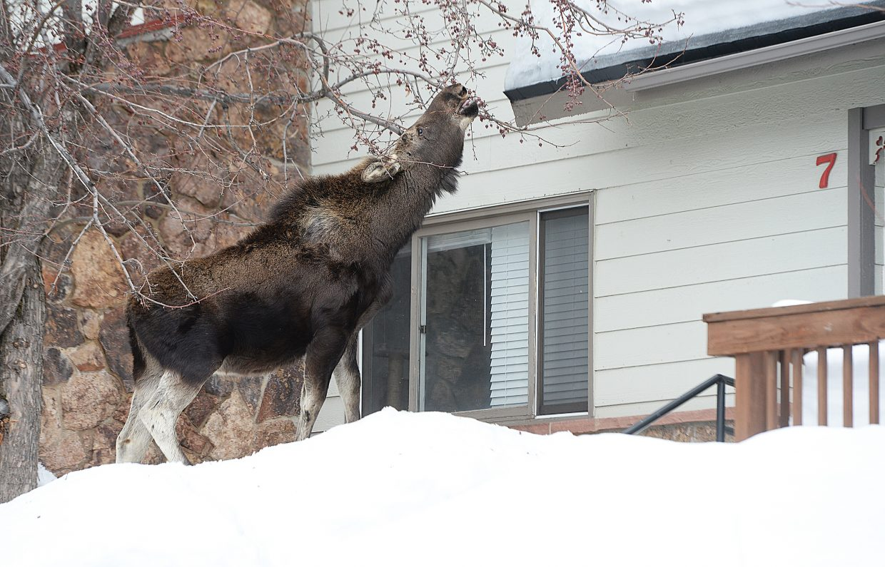 A moose dines on the branches of a crabapple tree in the front yard of a condominium at the Whistler Townhomes. The moose calf was one of three animals in the area. Some residents called law enforcement because they didn't feel safe leaving their homes with the animals that close by. See video at http://videos.steamboattoday.com/steamboattoday/lu44ih.