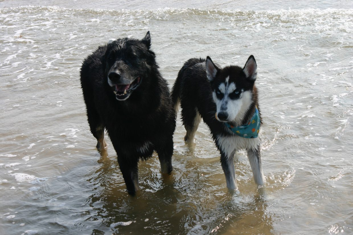Husky Mya, right, at the beach with shepherd Rex, another dog owned by Gehrke. Rex and Mya had two sets of husky-shepherd puppies before she was spayed.