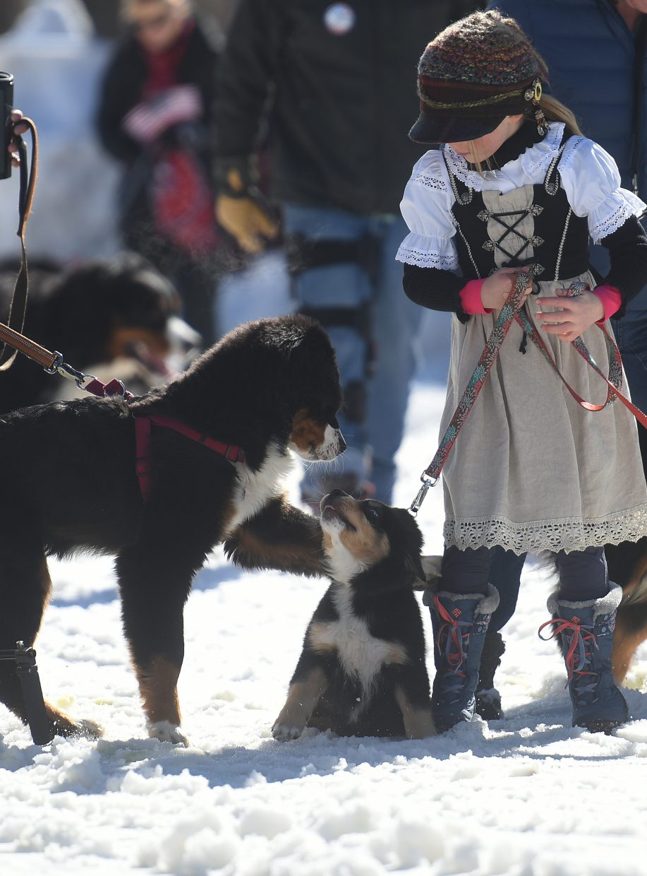 More than 20 Bernese mountain dogs, including a few puppies, paraded down Lincoln Avenue Sunday.