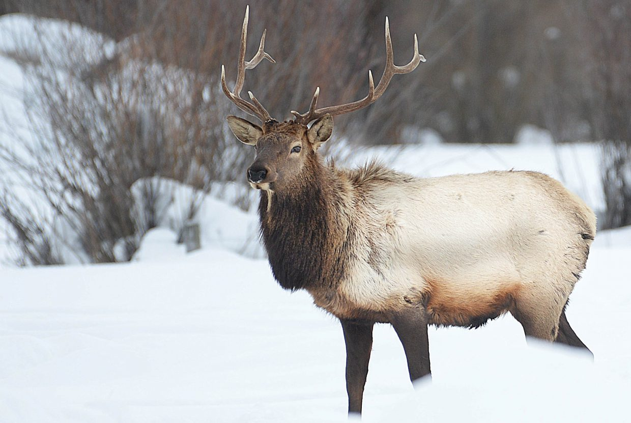 A bull elk stands in a pasture north of Steamboat Springs Tuesday morning.