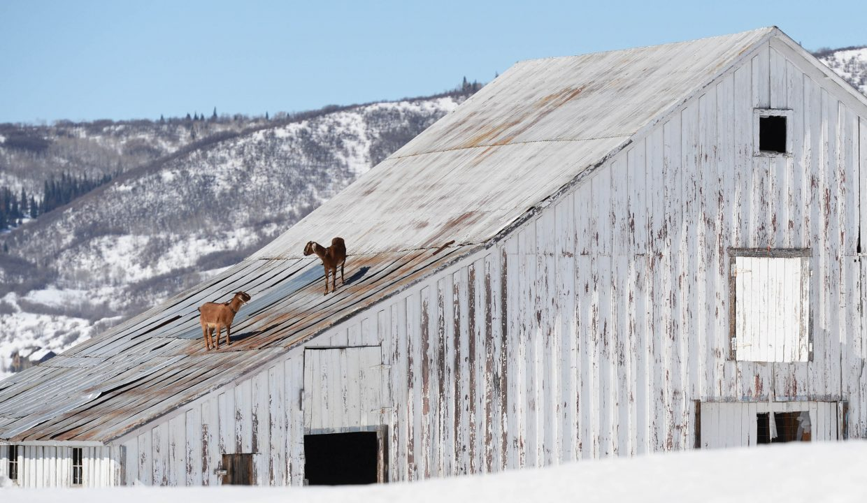 Goats walk on the roof of a barn just off Routt County Roads 131 and 22 Thursday morning. The goats apparently got onto the roof by climbing up on snow that had slid off. It was unclear if the goats found anything to eat on the tin roof, but their presence made an interesting view for passing motorists.