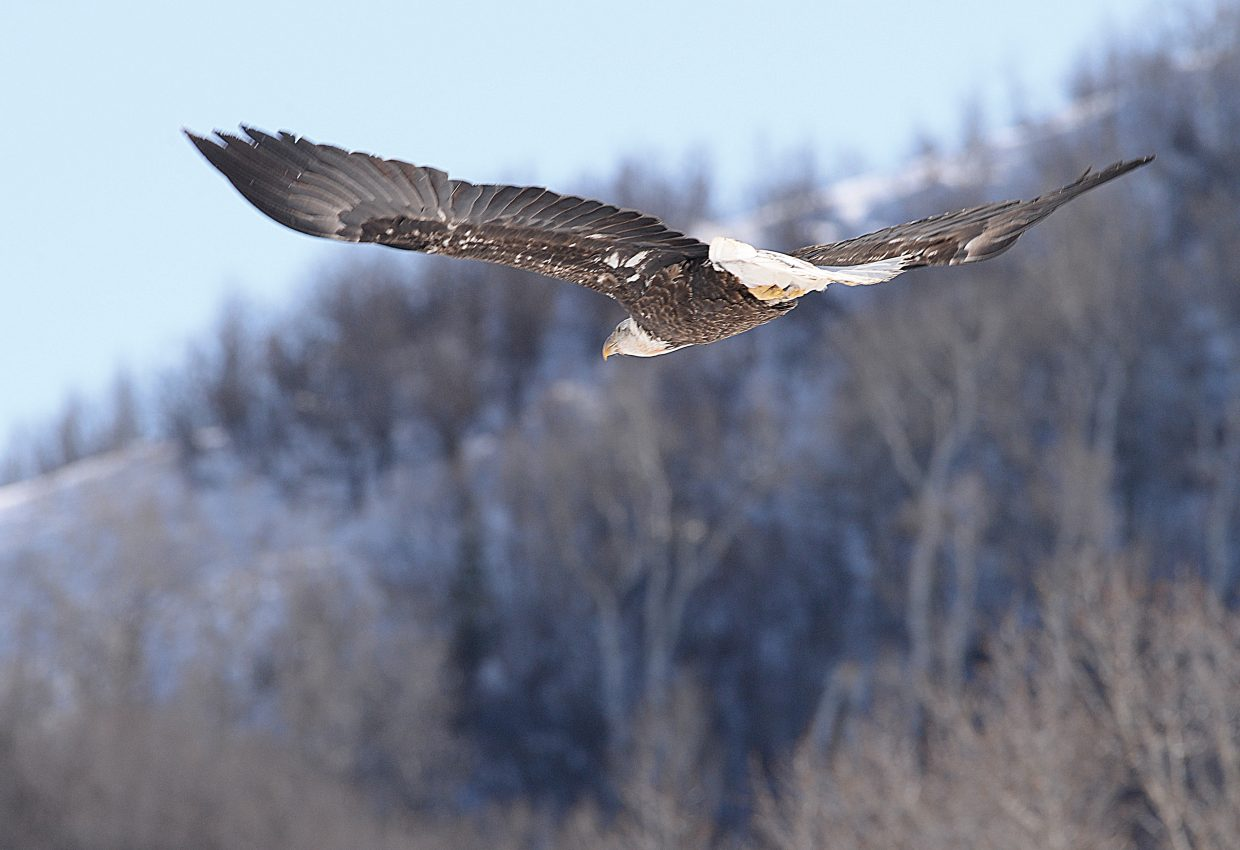 A bald eagle takes flight above the Elk River north of Steamboat Springs Friday afternoon.