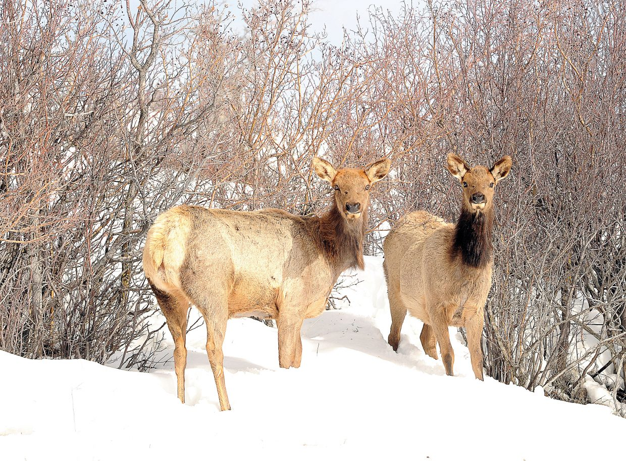 Elk who were part of a herd, keep an eye out for any threats while grazing earlier this week just north of Steamboat Springs.