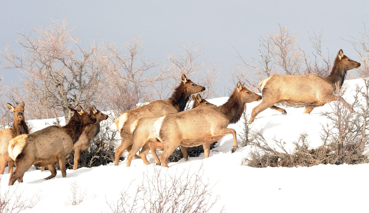 A herd of elk moves along a pasture north of Steamboat Springs.
