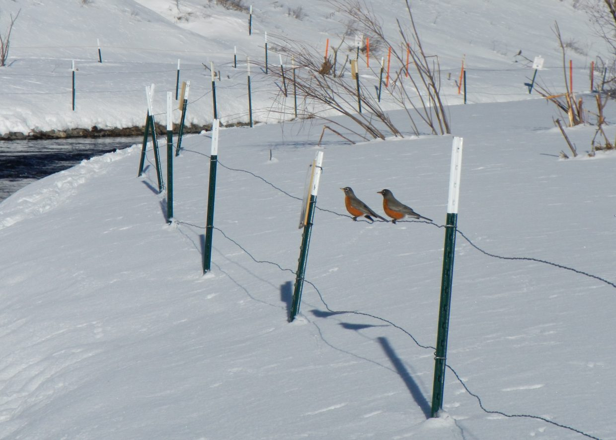 Springtime at Stagecoach? Robins at the Stagecoach tailwaters Saturday. Submitted by: Dave Daschle