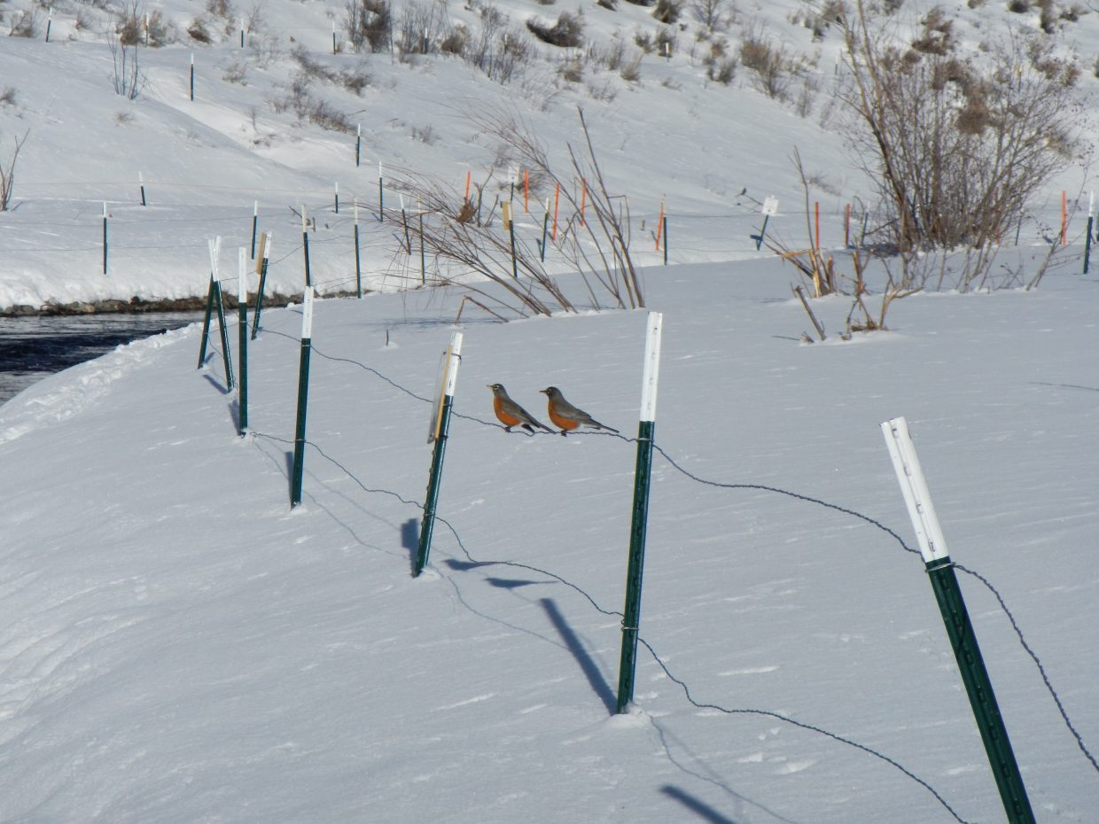 Robins at the Stagecoach tailwaters. Submitted by: Dave Daschle