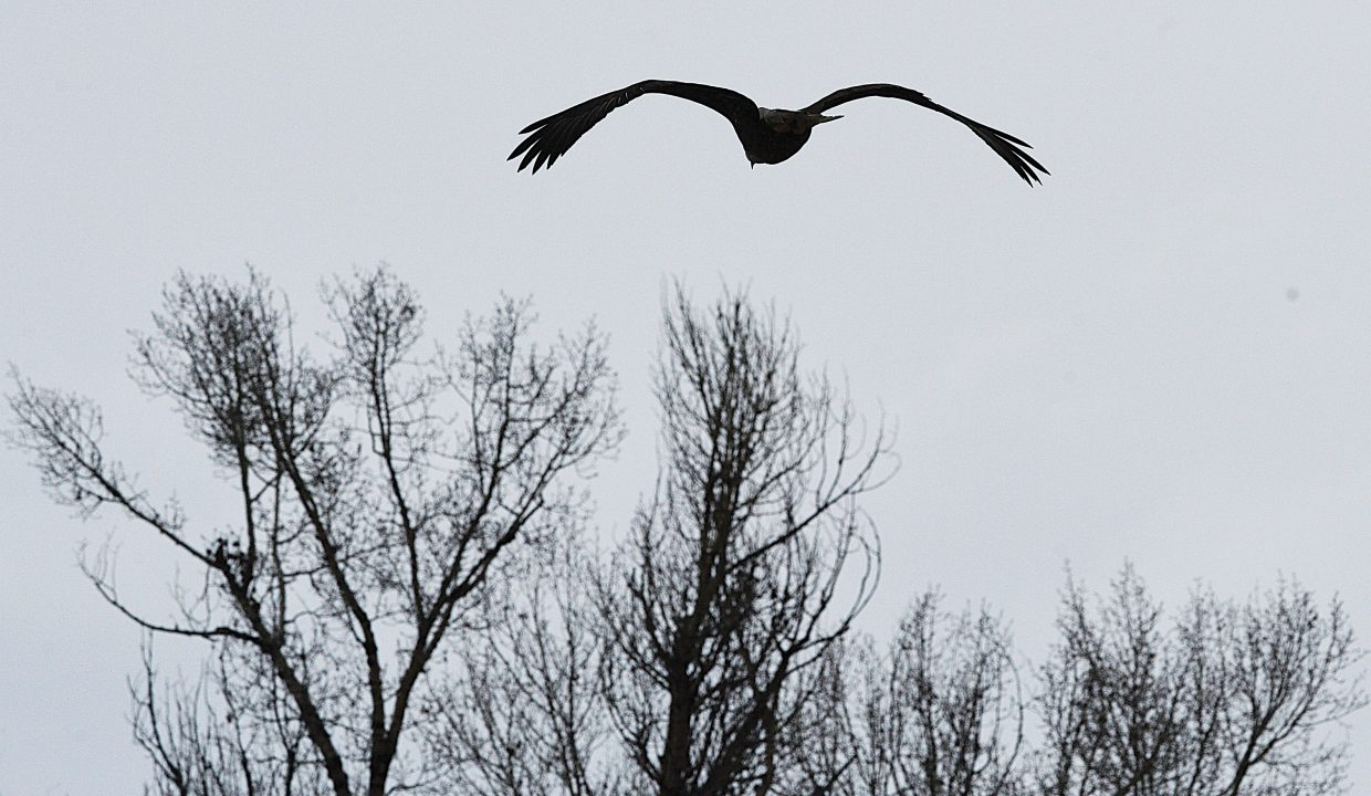 A bald eagle heads toward a stand of trees Monday afternoon along the Yampa River.
