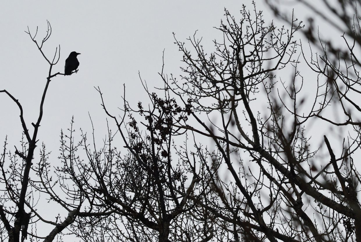 A blackbird is silhouetted against the sky while sitting in a tree in downtown Steamboat Springs.