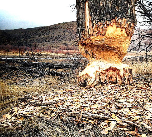 Shara Cole, of Craig, snapped this photo of a tree on South Beach at Yampa River State Park off of Highway 13. According to popular consensus on Shara's Intsagram page, a beaver took a few bites out of the tree. Do you have a photo you'd like to see published in the Craig Daily Press? Send photos to editor@CraigDailyPress.com.
