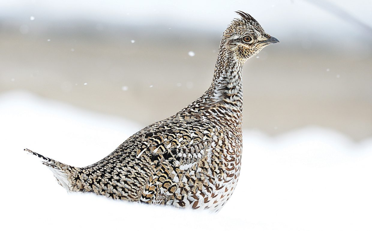 A Columbian Sharp-tailed grouse sits in a snowbank in the Silver Spur subdivision west of Steamboat Springs.
