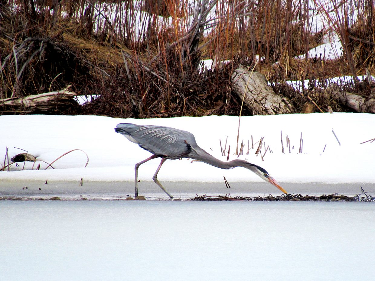 Shara Cole, of Craig, snapped this colorful photo of a blue heron fishing at Loudy-Simpson. Do you have a photo you'd like to see published in the Craig Daily Press? Send submissions to editor@CraigDailyPress.com.