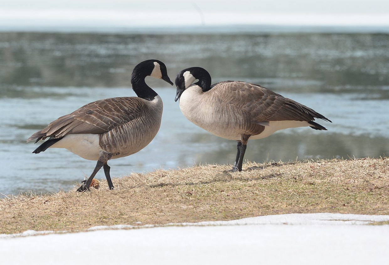 The banks of the pond in West Lincoln park is home to a pair of Canadian geese that have found their way back to the Yampa Valley and seem ready for spring.