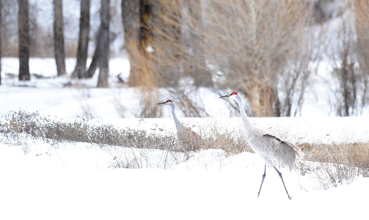 A pair of sandhill cranes make their home in a field west of Steamboat Springs on Tuesday afternoon.