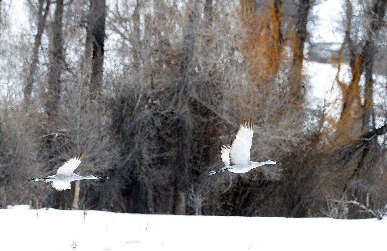 A pair of sandhill cranes take flight in a field west of Steamboat Springs on Tuesday afternoon.